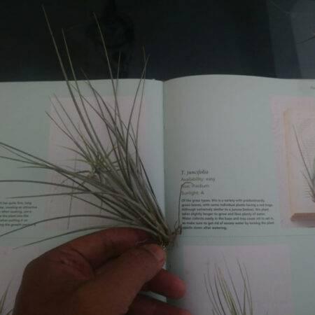 Tillandsia Juncifolia - Tunjungsekar Malang, eMBe UMKM, Gerakan Warga GKJW.org